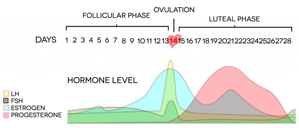 Ovulation graph with the follicular phase and luteal phase