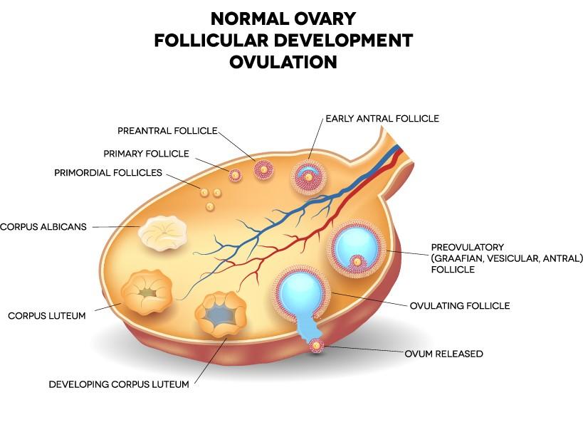 Normal ovary follicular development ovulation diagram